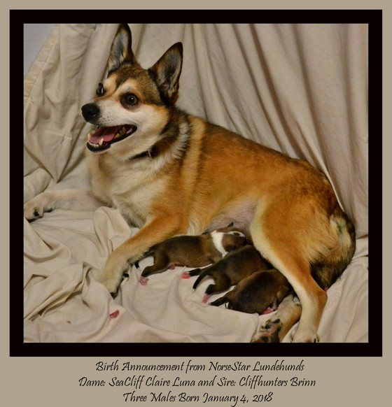 Lundehund Norsestar Lundehunds Greeley Co Home